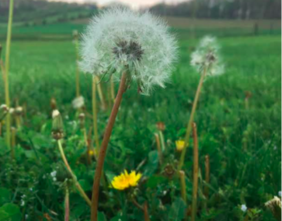 Dandelions have conquered the world: My topic for York History Storyteller night