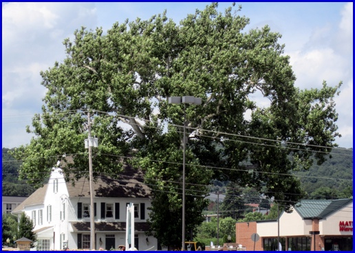 Mammoth Sycamore at 2901 Whiteford Road in Springettsbury Township (2013 Photo, S. H. Smith)