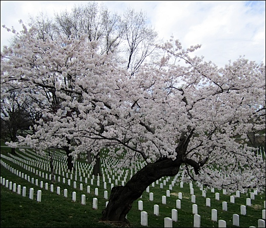 Cherry Tree in Blossom along Wilson Drive in Arlington National Cemetery (2016 Photo by S. H. Smith)