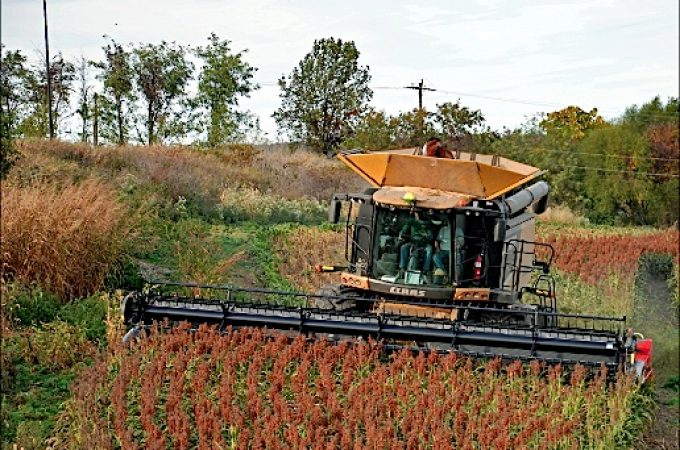 Sorghum harvest in York County